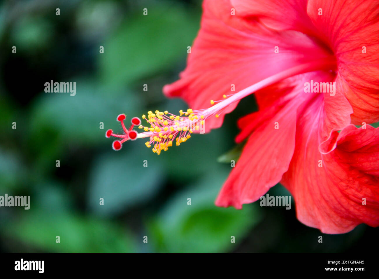 Pink And Yellow Hibiscus Tropical Flower And Leaves Hawaiian Floral