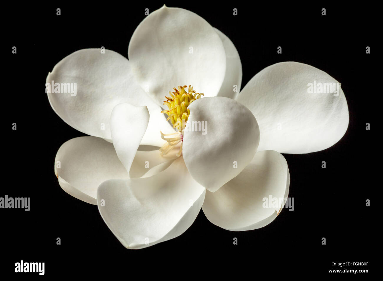 Magnolia Flower White Magnolias Floral Flowers Stock Photo 96355967