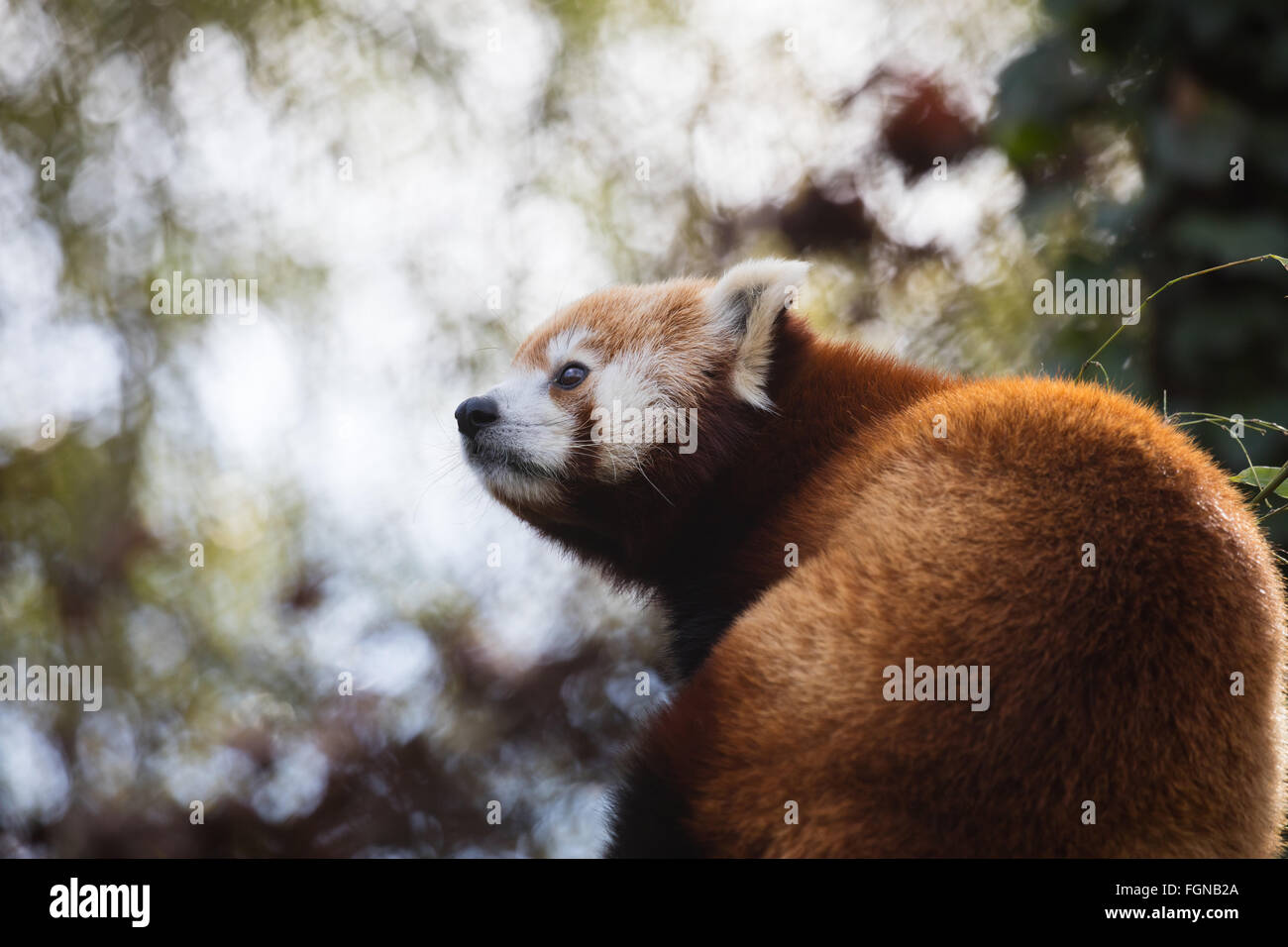 Cute Red Panda (Ailurus fulgens) looking at something Stock Photo