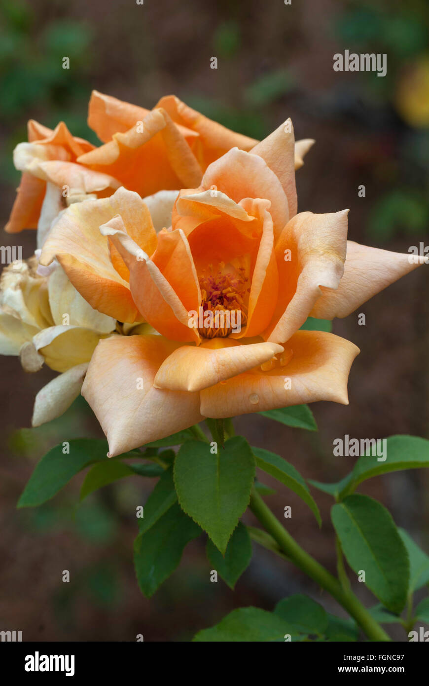 Rose, Rosa OLDTIMER, orange, Hybrid tea, - Stock Image