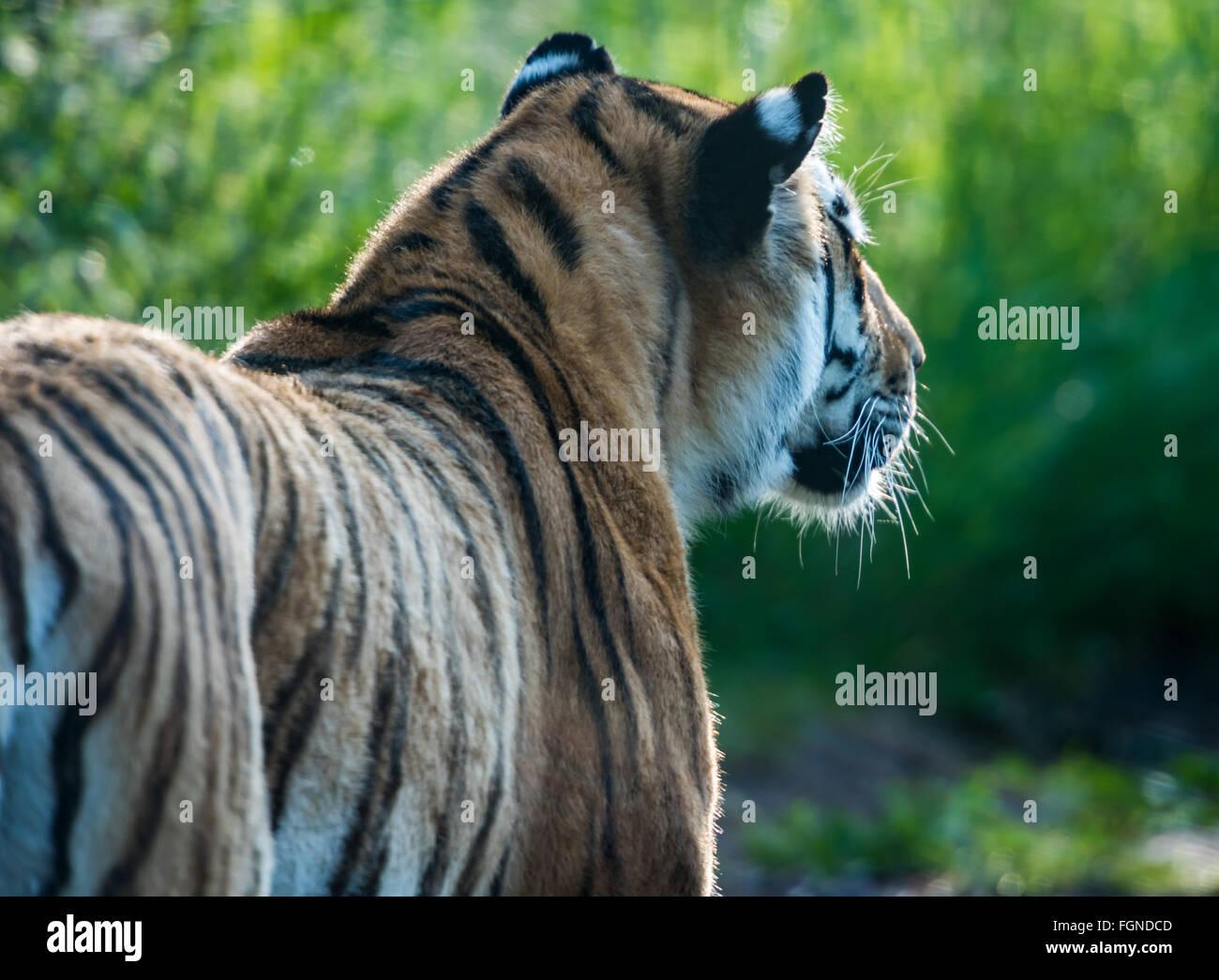 Basking tiger - Stock Image