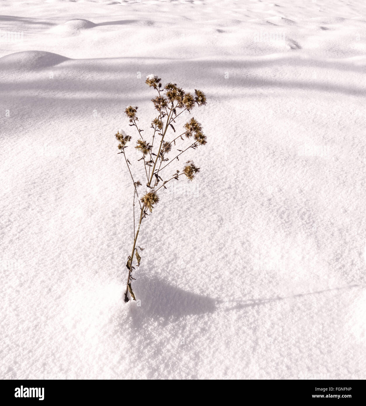 Single withered plant is the sunny, untouched snow - Stock Image