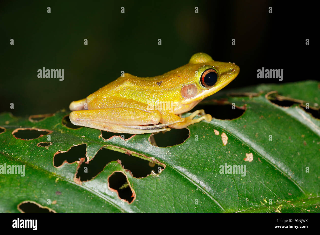 White-lipped frog (Rana chalconota), true frog in the tropical rainforest, by night, Kubah National Park, Sarawak, - Stock Image