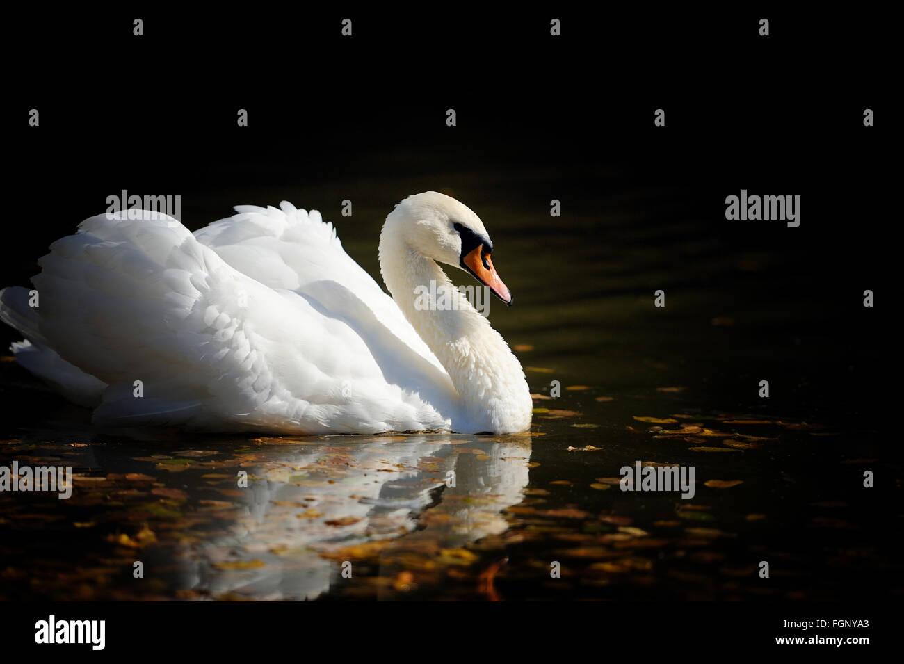 Swan swimming in the lake - Stock Image