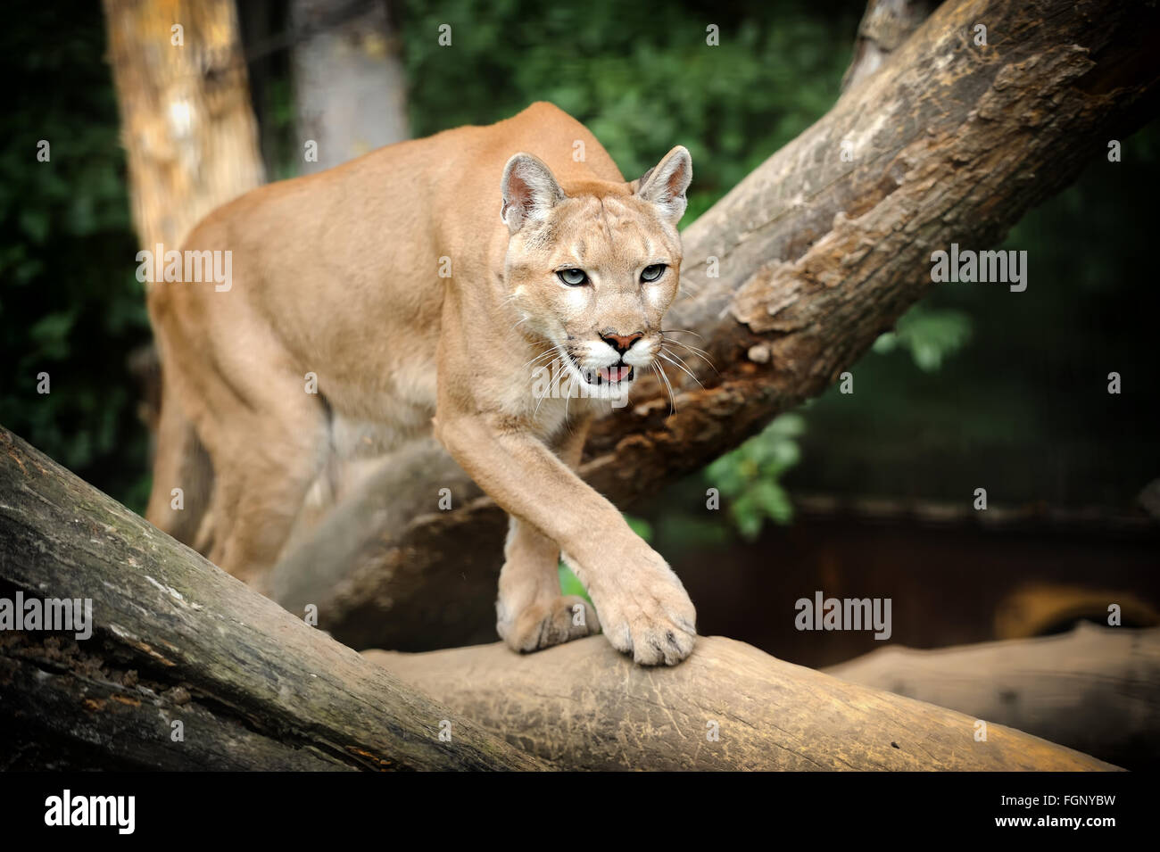 Puma Face in the wild - Stock Image