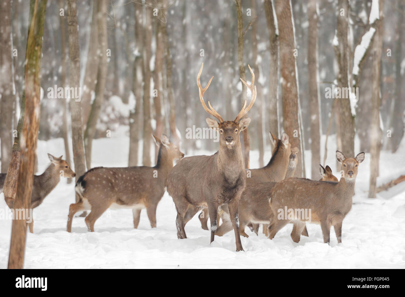 Young deer in winter forest - Stock Image