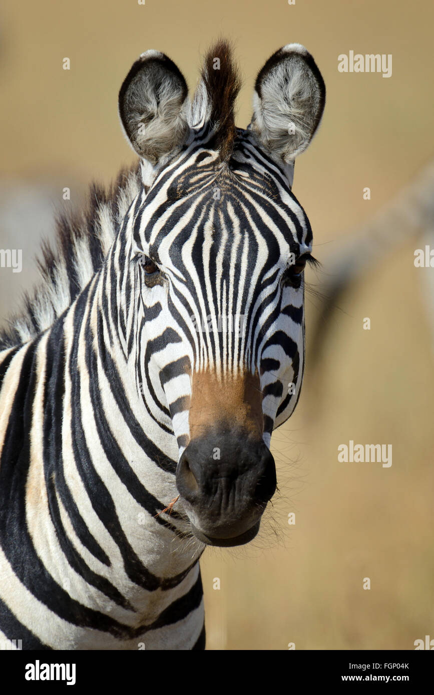 Zebra on grassland in Africa, National park of Kenya - Stock Image