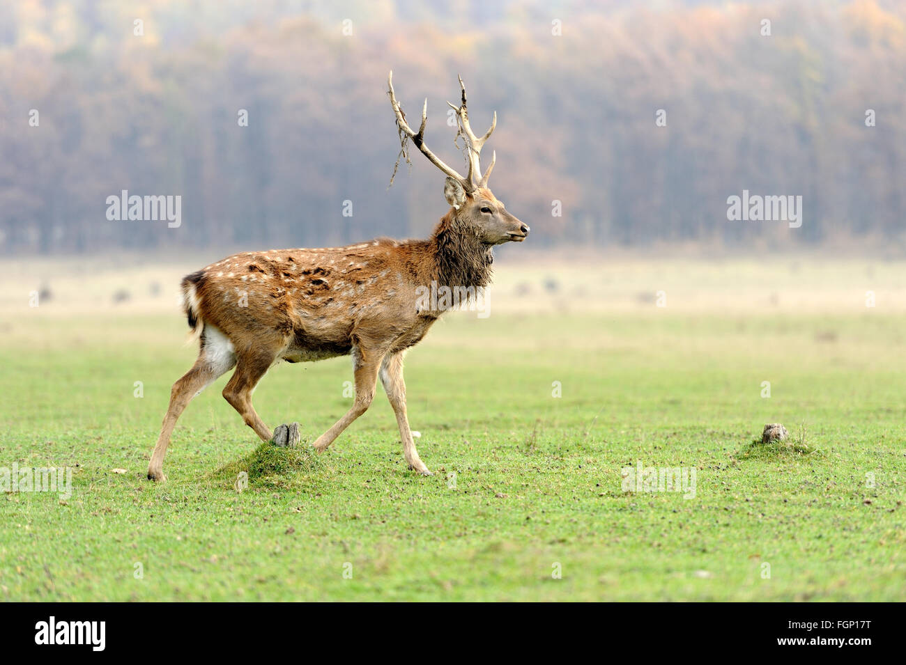Young deer in autumn meadow Stock Photo