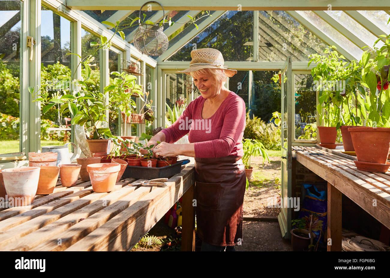 Senior woman potting plants in sunny greenhouse - Stock Image