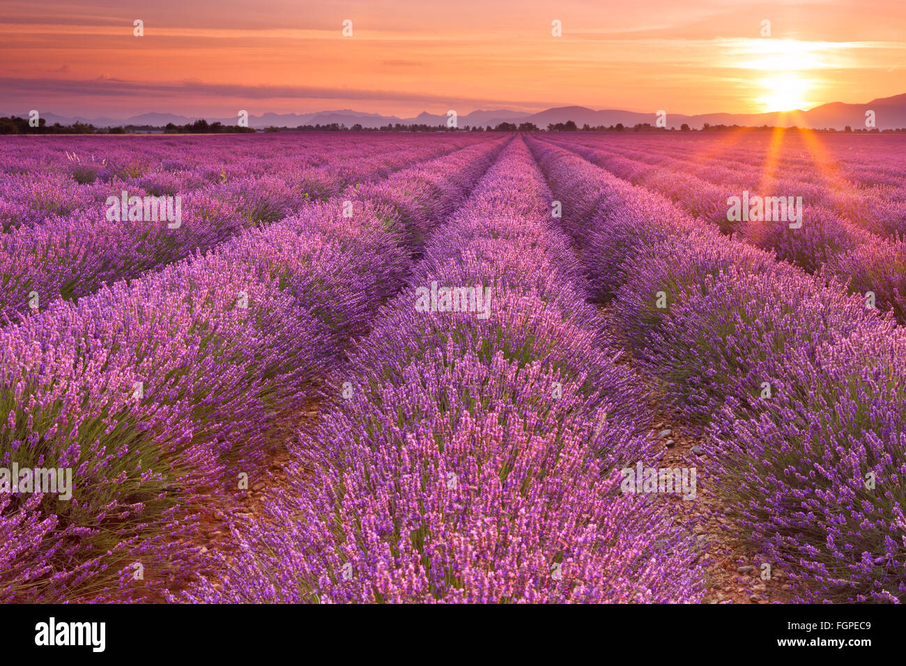 Sunrise over blooming fields of lavender on the Valensole plateau in the Provence in southern France. - Stock Image