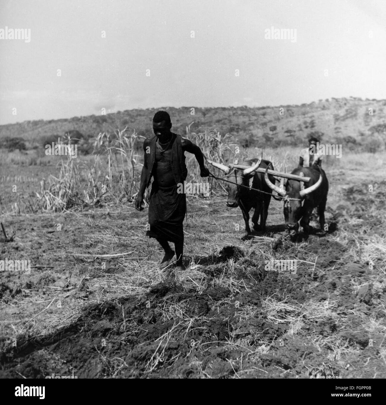 geography / travel, Angola, agriculture / farming, native farmers working on a German farm, 1950s, Additional-Rights - Stock Image