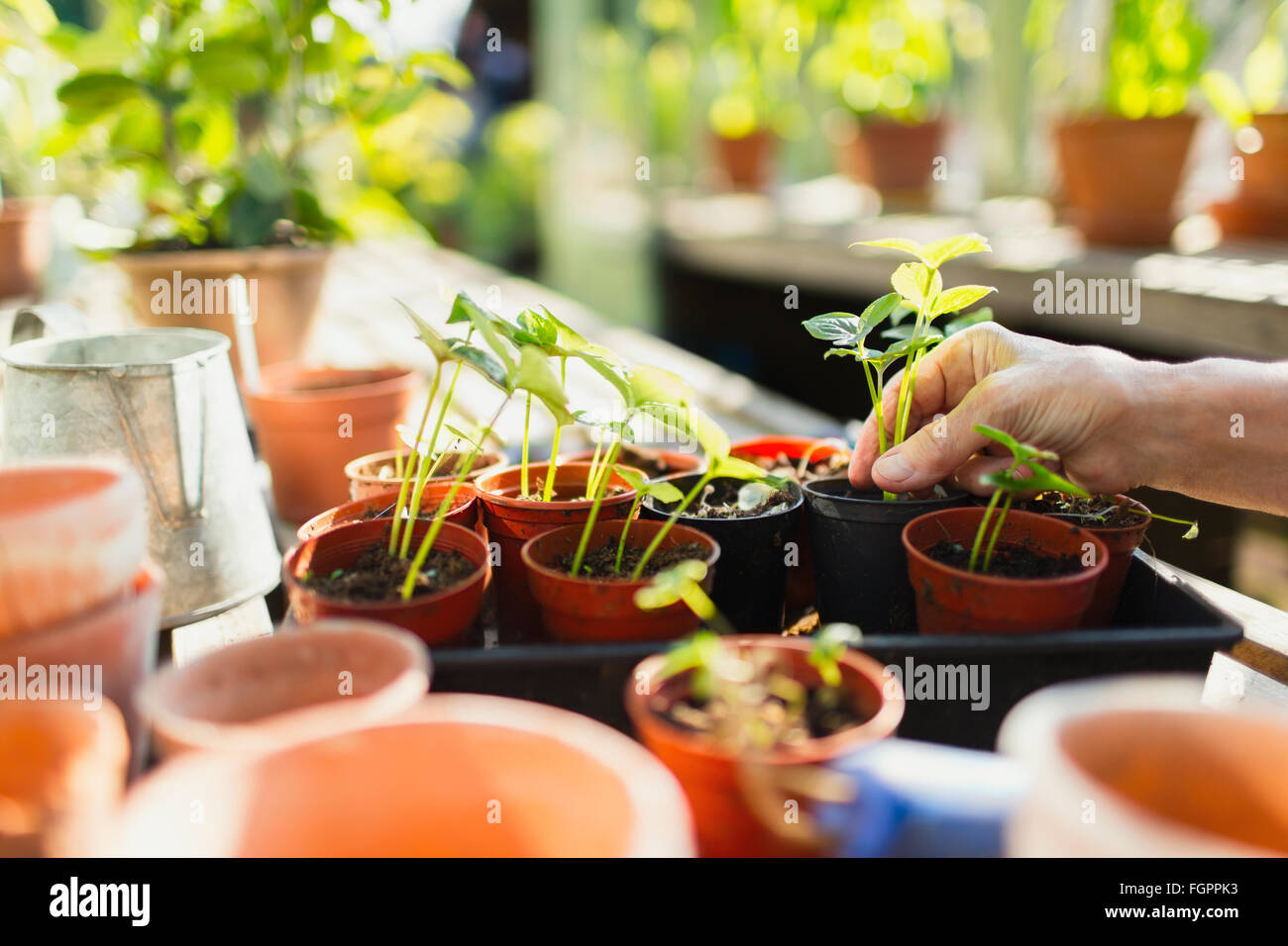 Woman potting plants in greenhouse - Stock Image