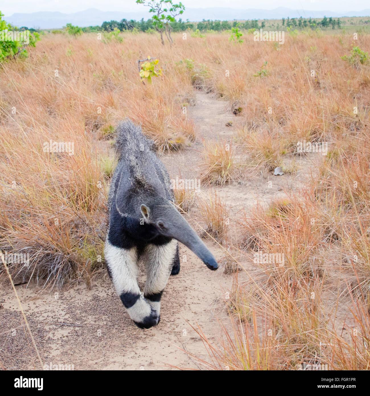 Giant Anteater (Myrmecophaga tridactyla) Guyana - Stock Image