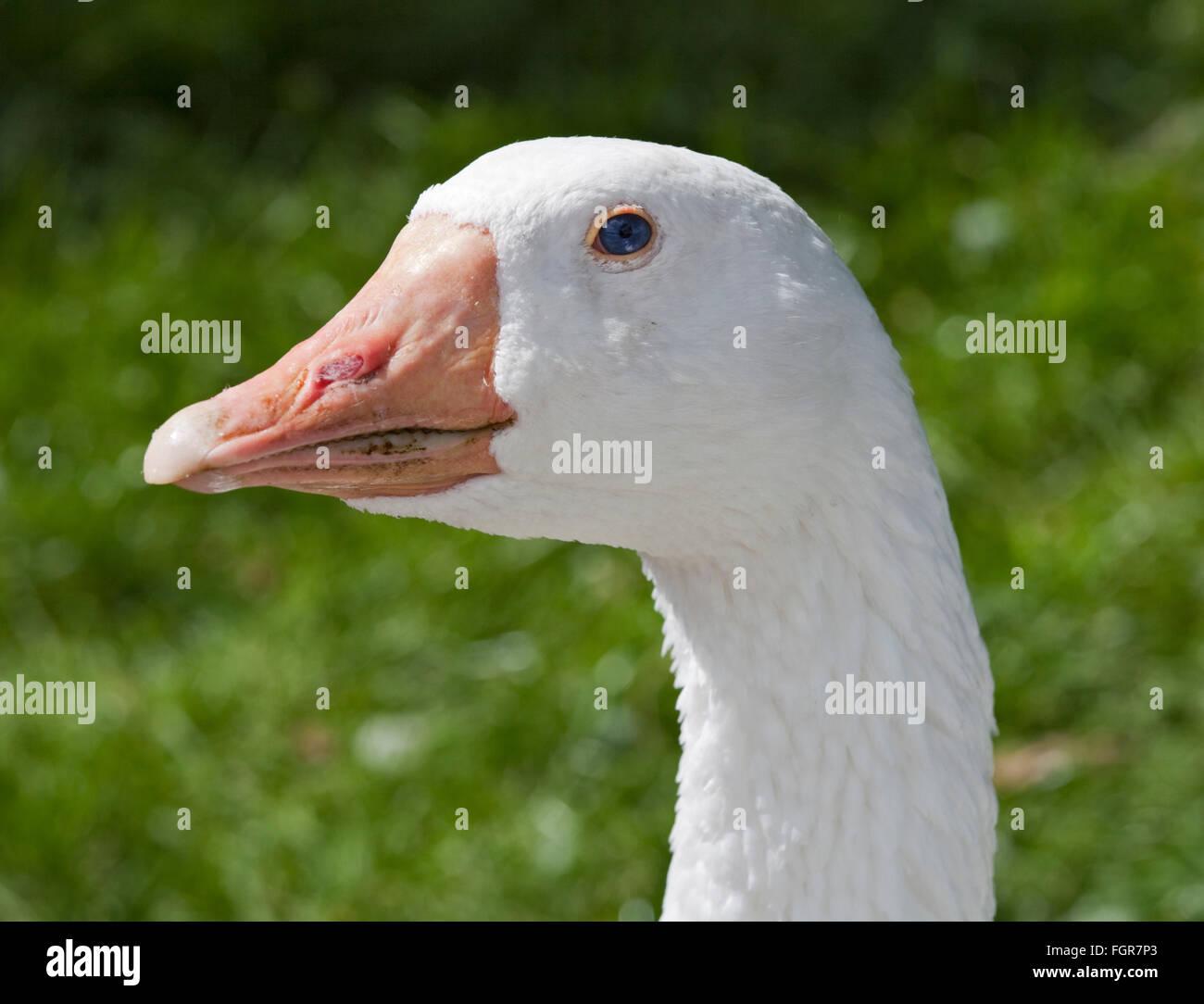 Sebastopol Goose - Stock Image