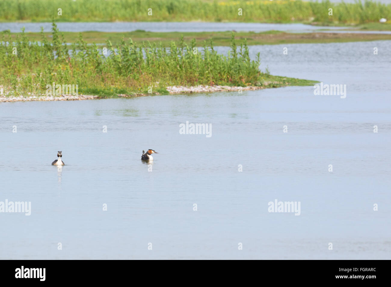 Pair Great crested Grebes swimming in water - Stock Image