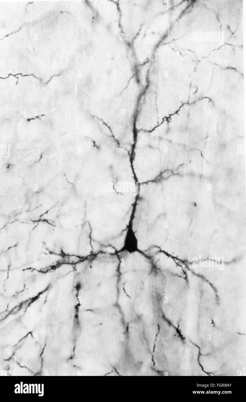medicine, anatomy, cerebric / cranium, cortices of the human cerebrum, pyramidal cells, 20th century, 20th century, - Stock Image