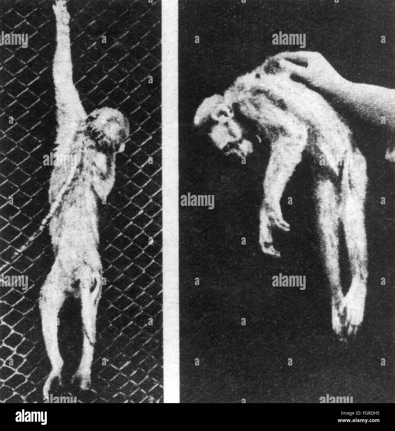 medicine, disease, poliomyelitis, different states of paralysis of the limbs of a gibbon, 20th century, 20th century, - Stock Image