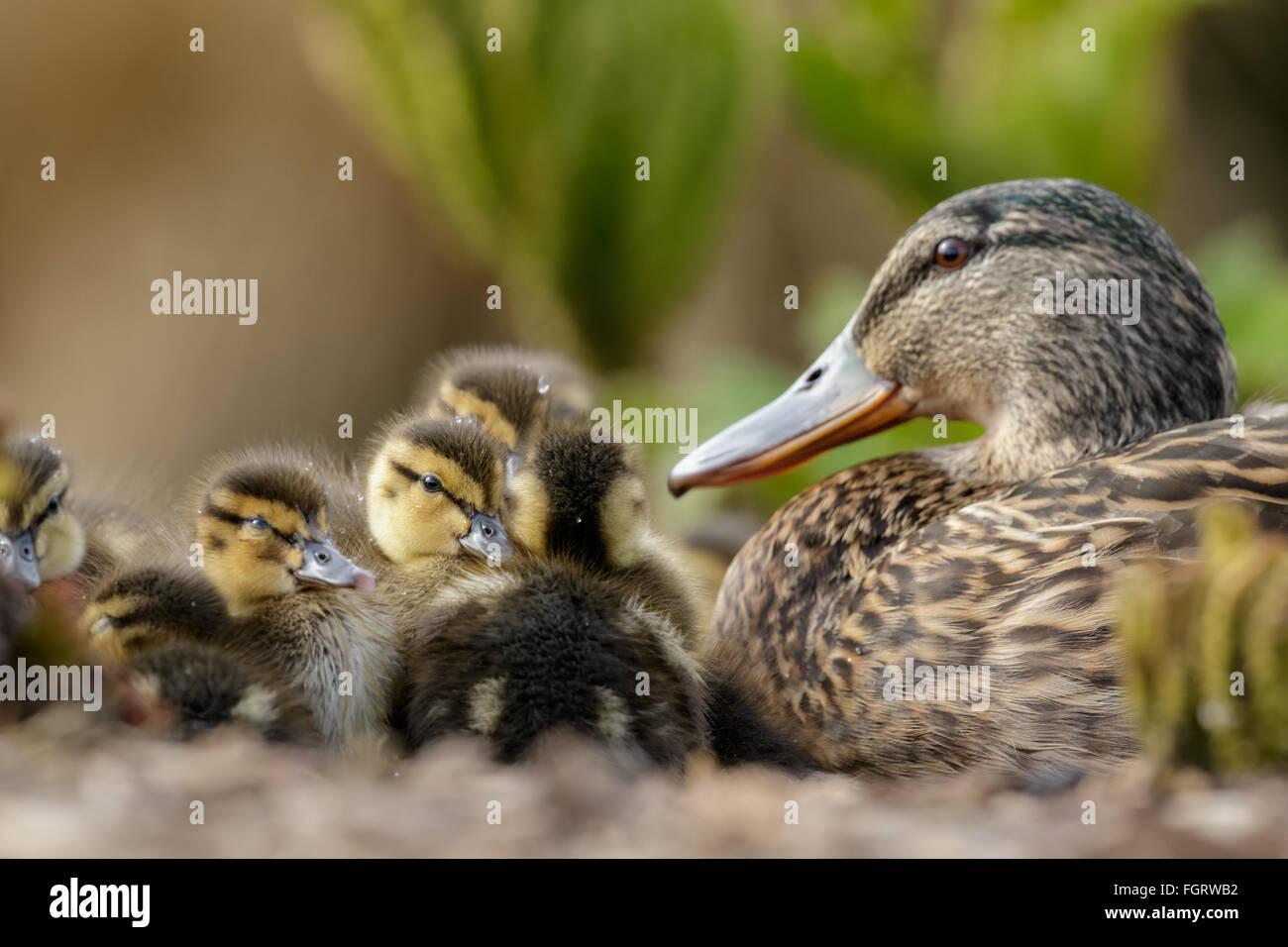 Mallard Ducklings (Anas platyrhynchos) resting in a huddle under the watchful eye of Mum. Stock Photo