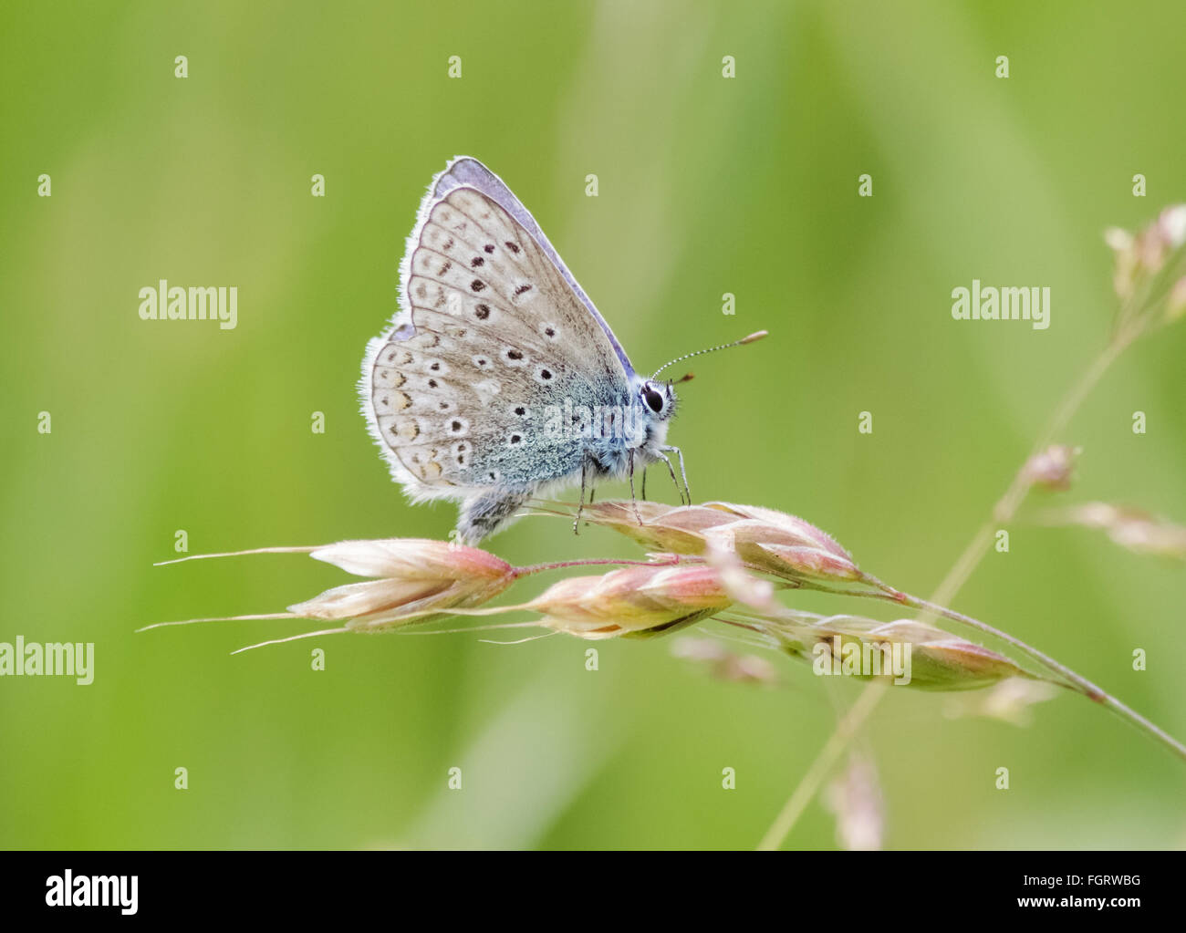 Male Common Blue butterfly (Polyommatus icarus) perched on a grass stem. - Stock Image