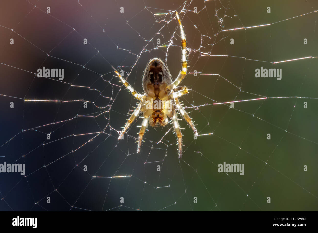 European Garden Spider (Araneus diadematus) waiting for prey to get caught in its web. - Stock Image