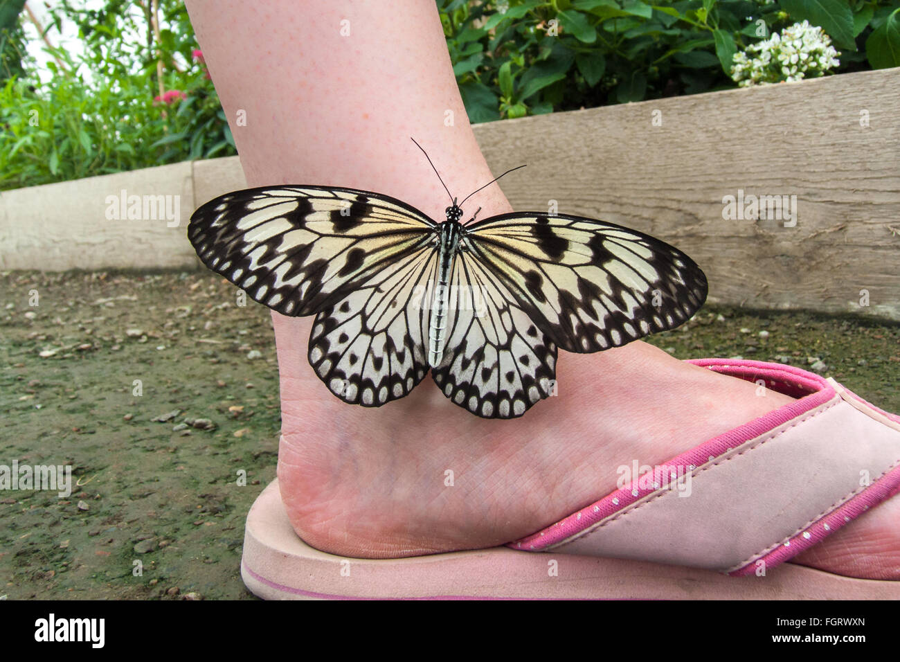 Large Tree Nymph butterfly (Idea leuconoe) resting on a girls ankle. - Stock Image
