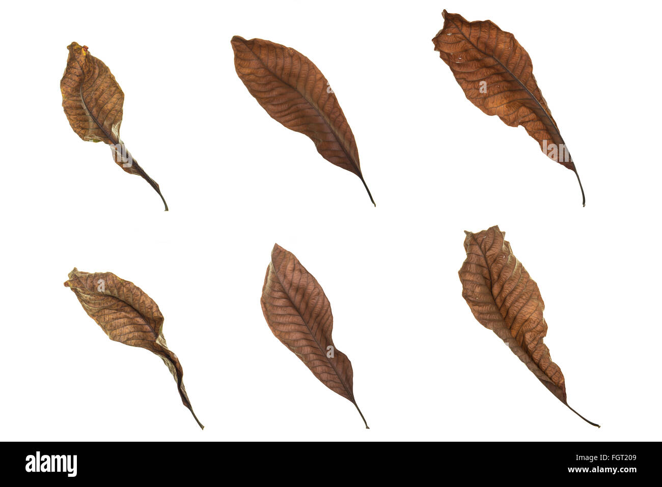Set of dry leaves isolate on white background - Stock Image