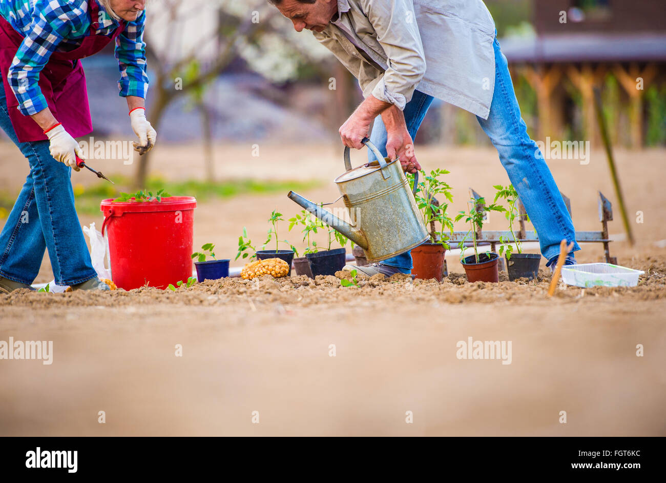 Senior woman and man in garden planting and watering - Stock Image