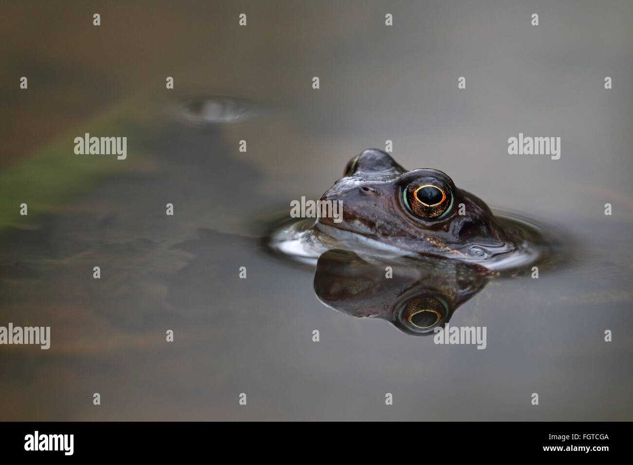 Common Frog Rana temporaria in calm pond with silver smooth light and reflection - Stock Image