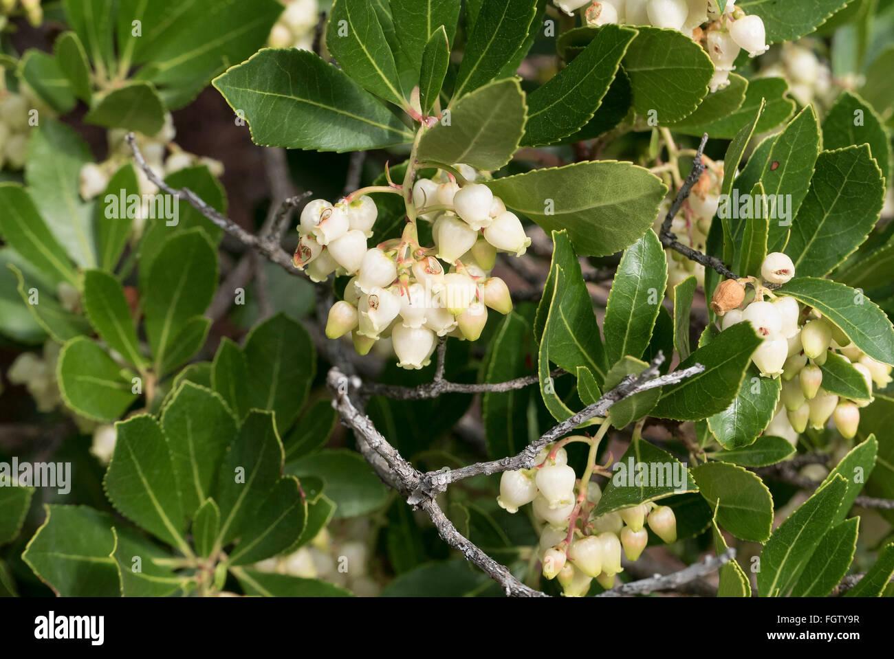 Laurel blossoms, Macchia, Peninsula Le Dramont, Agay, Saint-Raphaël, Dep. Var, Côte d'Azur, France - Stock Image