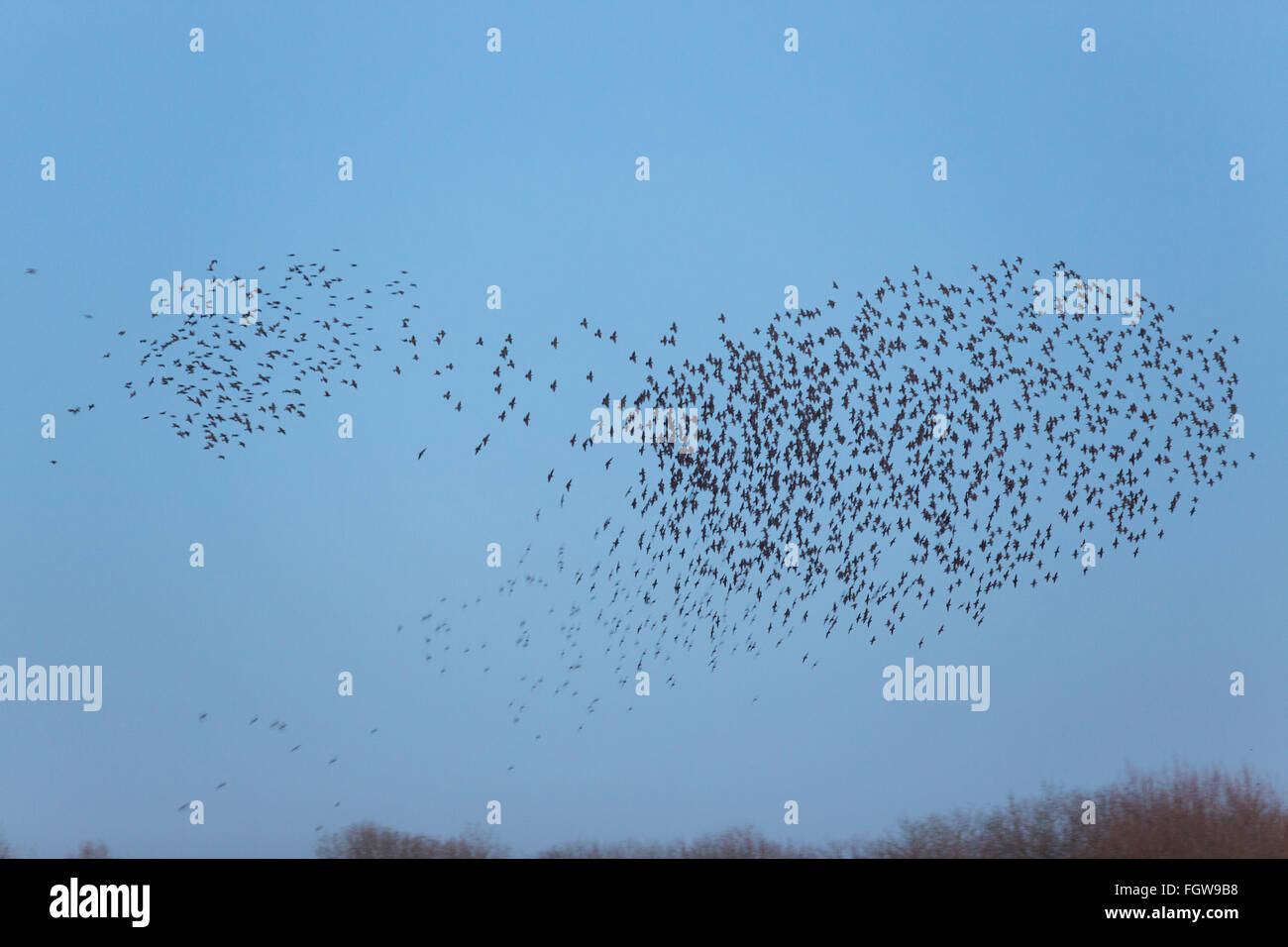 Starling; Sturnus vulgaris Roost Murmurating Somerset; UK - Stock Image