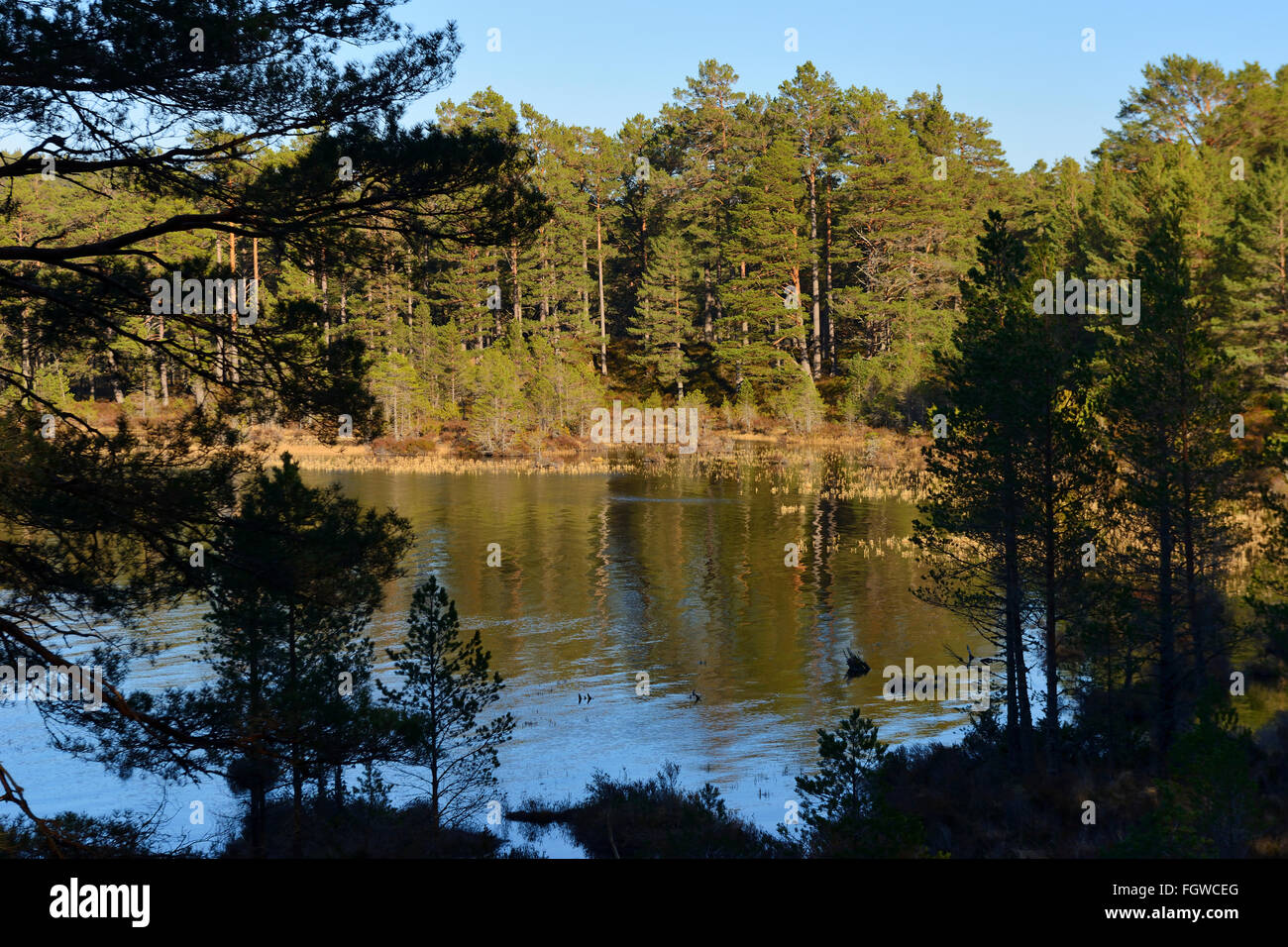 Scots pine forest on banks of Loch an Eilein, Rothiemurchus Estate, Scottish Highlands, UK - Stock Image