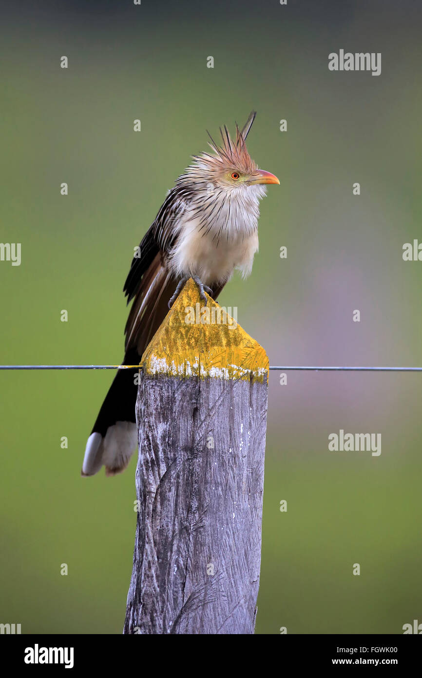 Guira Cuckoo, adult on branch, Pantanal, Mato Grosso, Brazil, South America / (Guira guira) - Stock Image