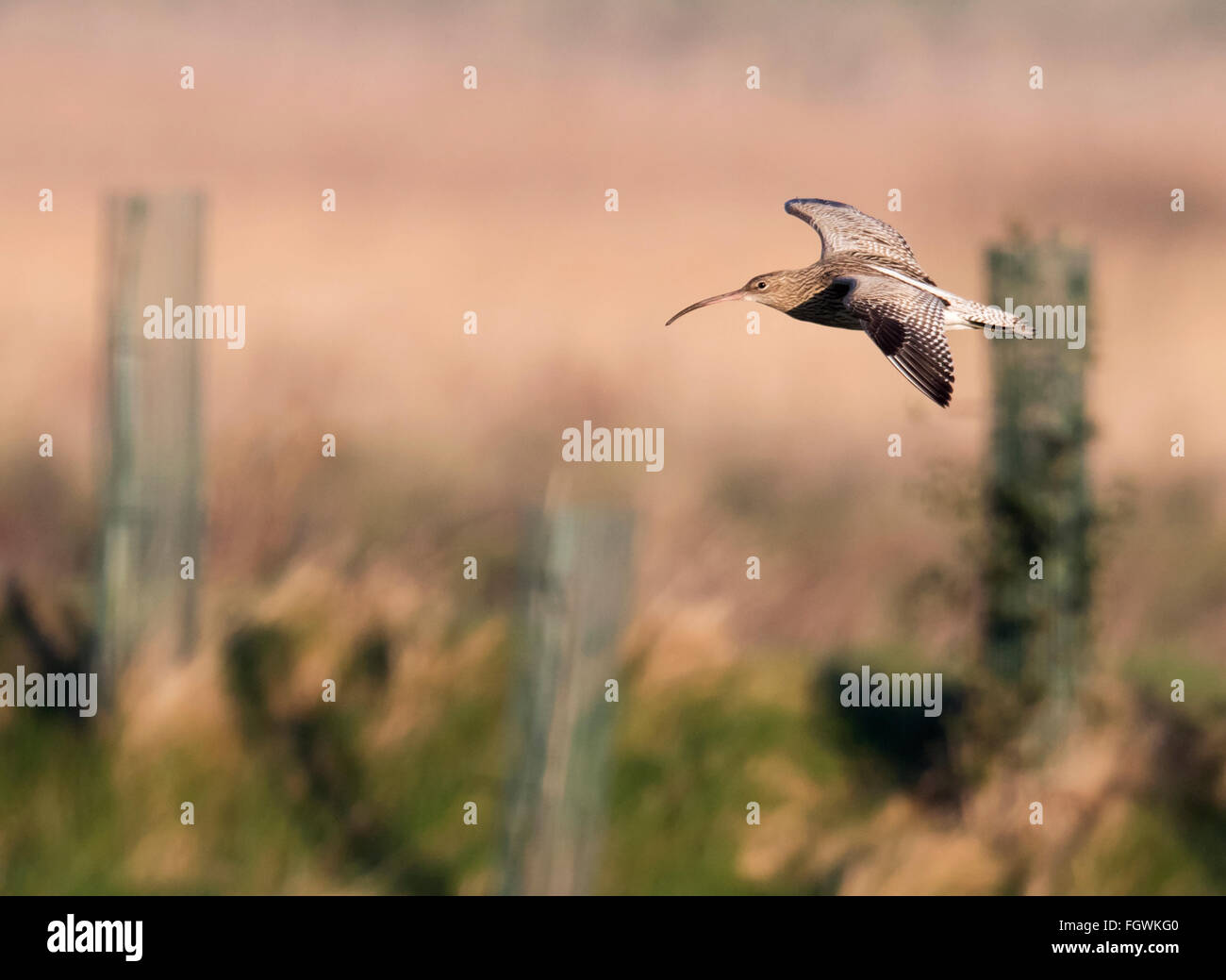 Curlew, Numenius arquata in flight, Norfolk Stock Photo