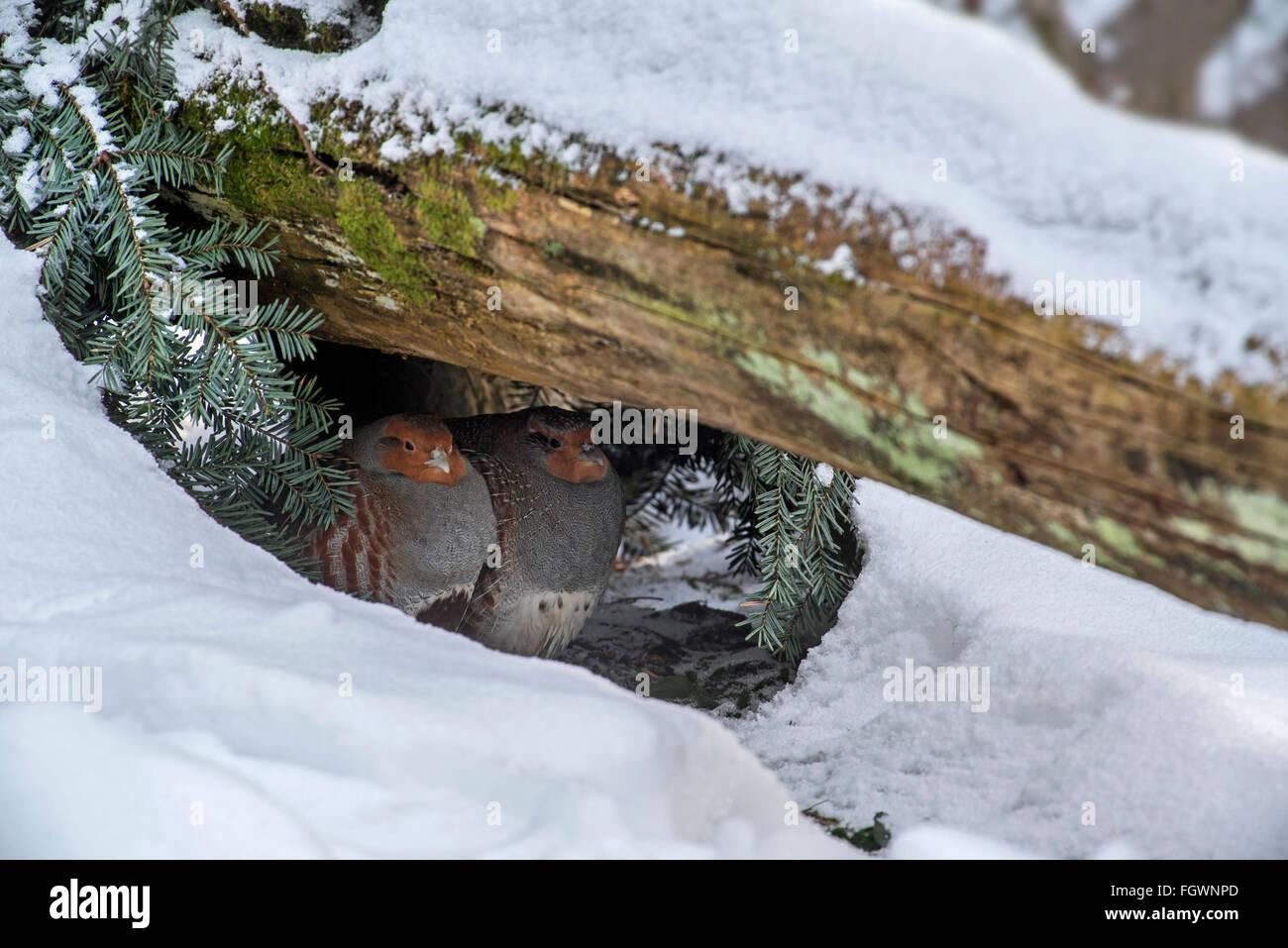 Grey partridges / English partridge (Perdix perdix) couple seeking shelter under log in the snow in winter during - Stock Image