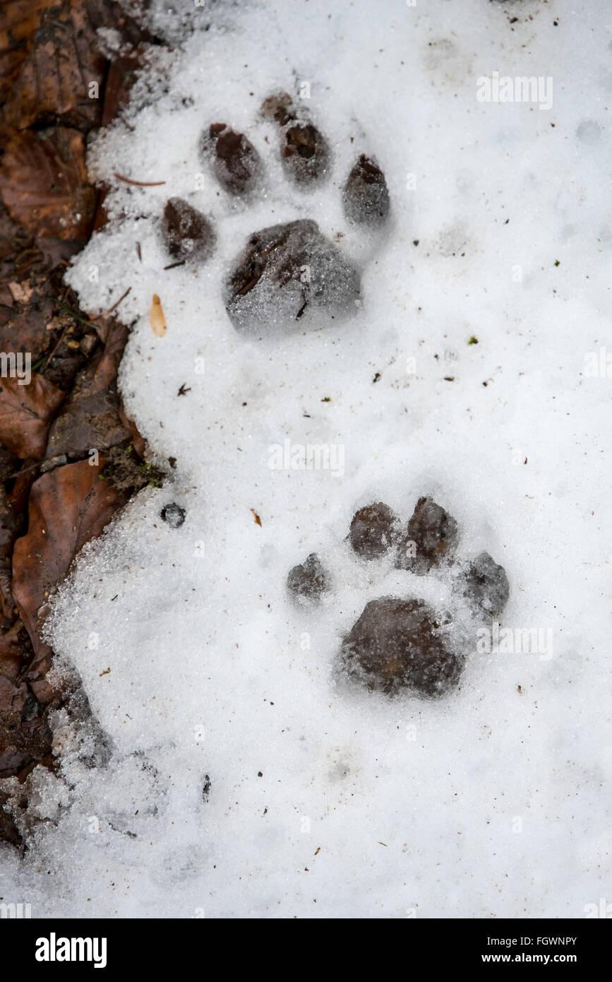 Footprints of Eurasian lynx (Lynx lynx) in melting snow in winter / spring - Stock Image