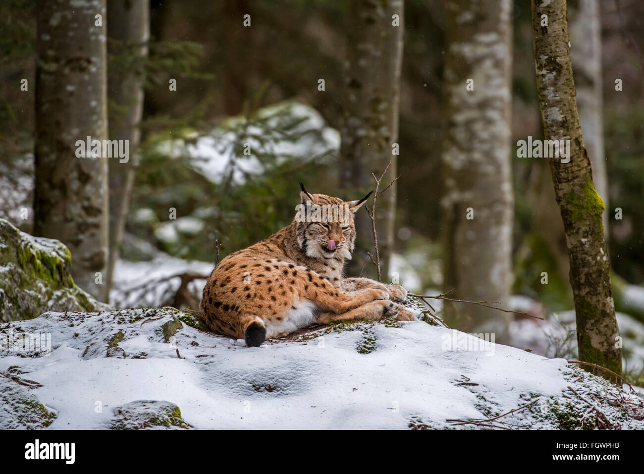 Eurasian lynx (Lynx lynx) licking nose while resting on rock in woodland in the snow in winter - Stock Image