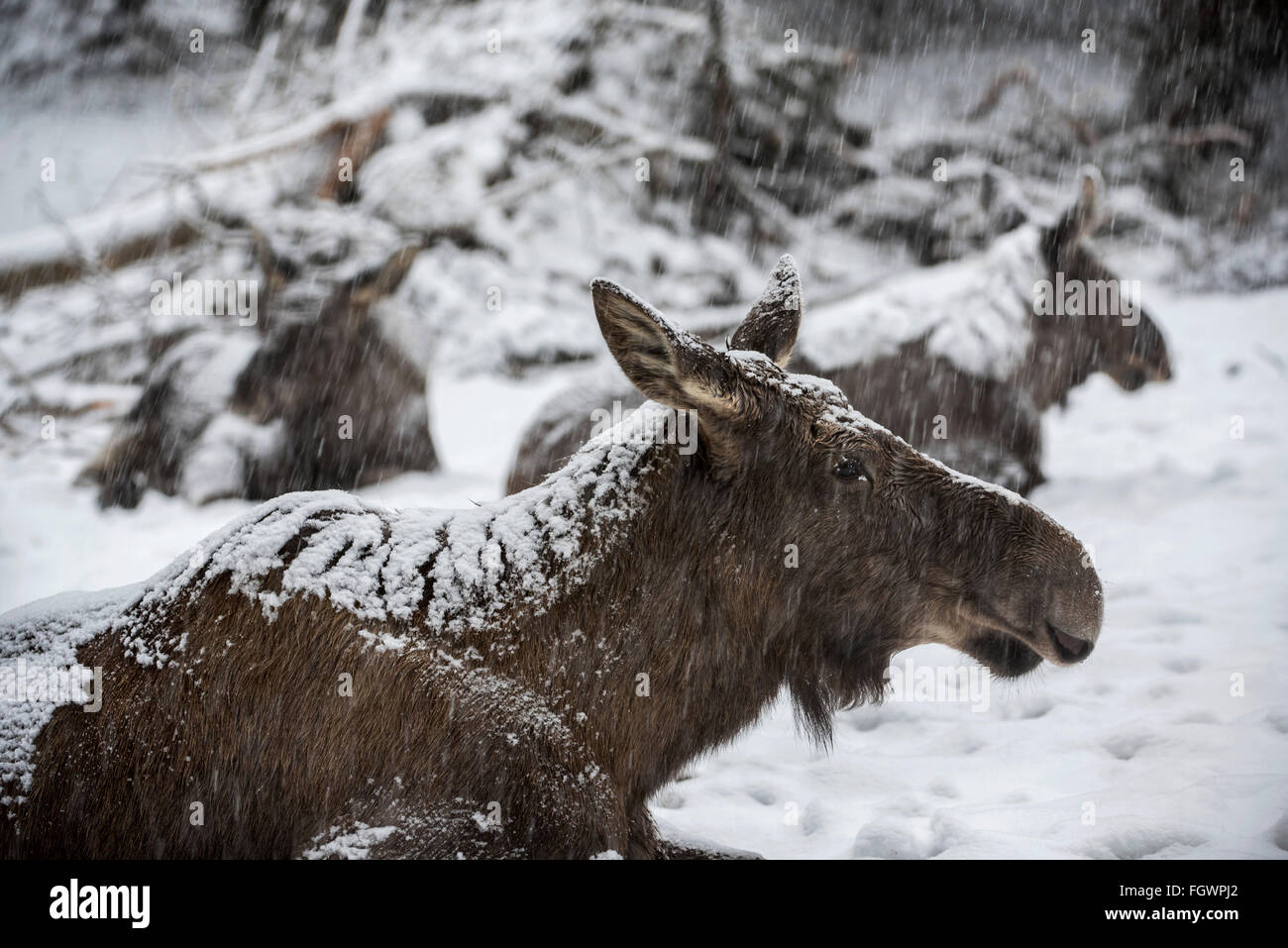 Moose / elk (Alces alces) close up of cow with two calves resting in the snow during snowstorm in winter - Stock Image