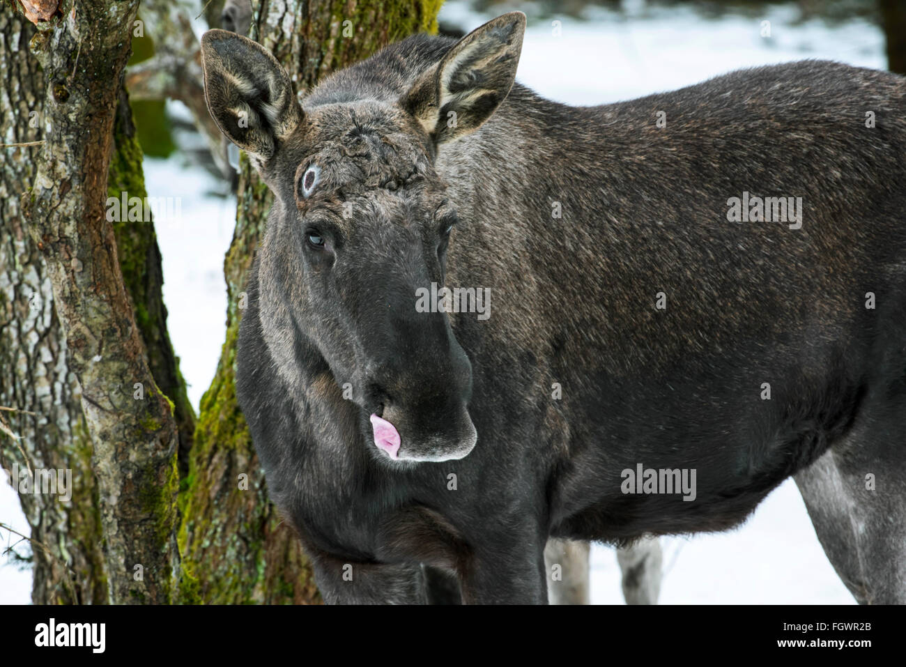 Moose / elk (Alces alces) close up of bull showing pedicel scars left behind on the attachment points for the antlers - Stock Image