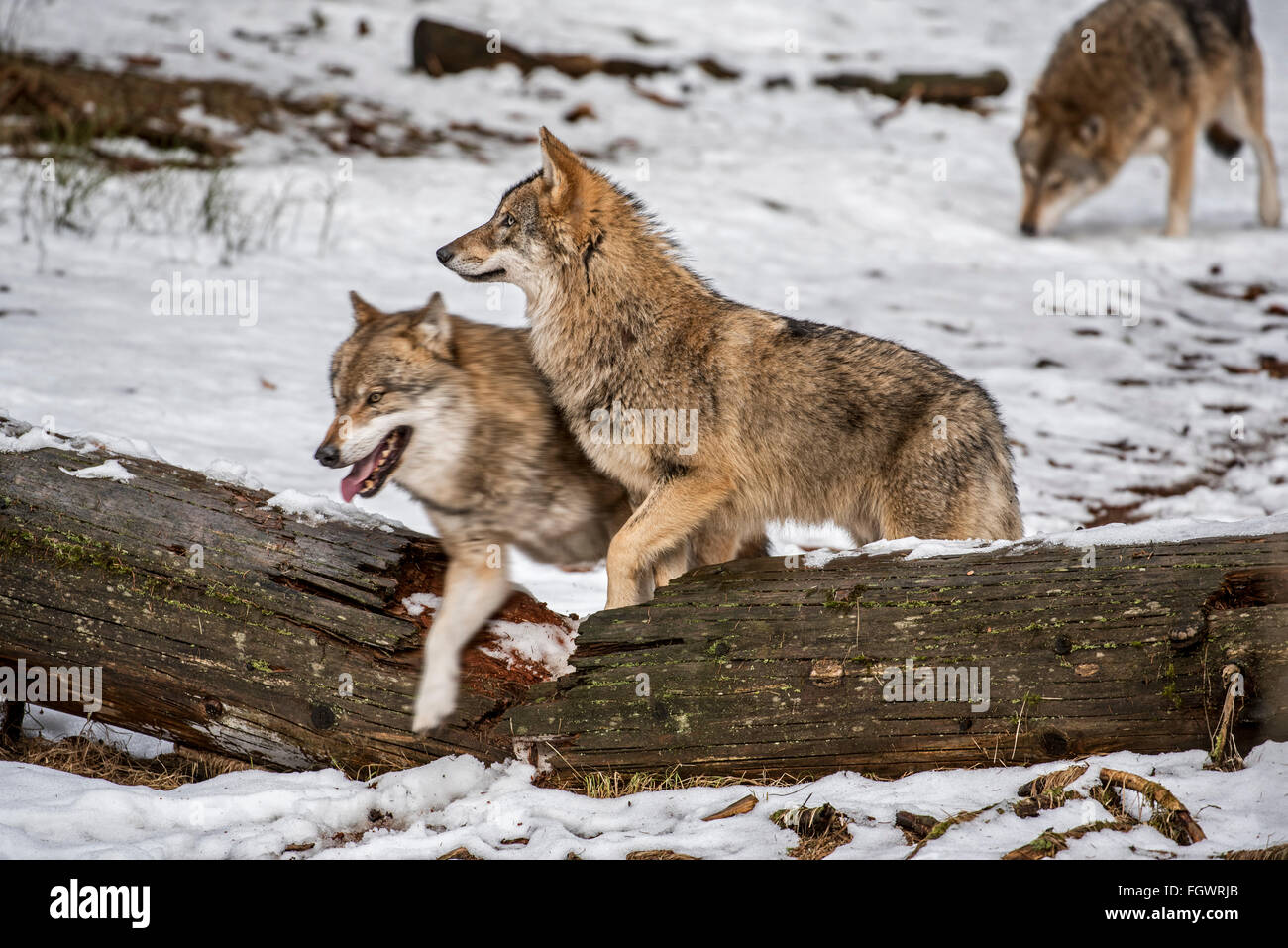 Gray wolves / grey wolf (Canis lupus) pack on the hunt stepping over fallen tree trunk in the snow in winter - Stock Image