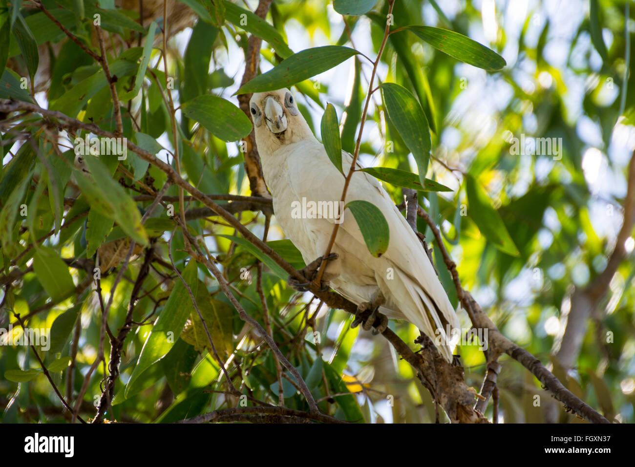 Little Corella bird in Australia - Stock Image