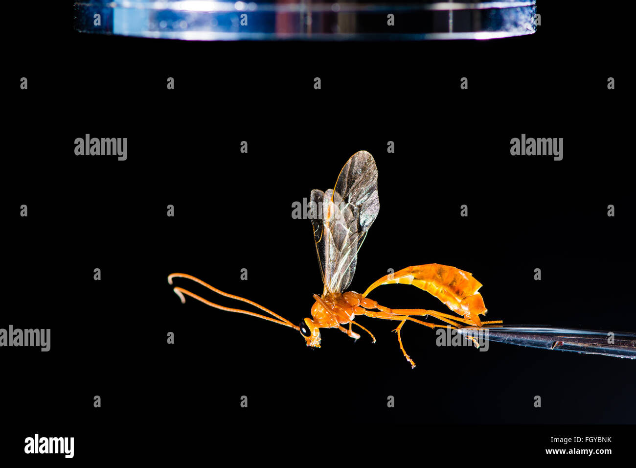 A microscope and forceps used during examination of Ophion luteus, an Ichneumon wasp - Stock Image