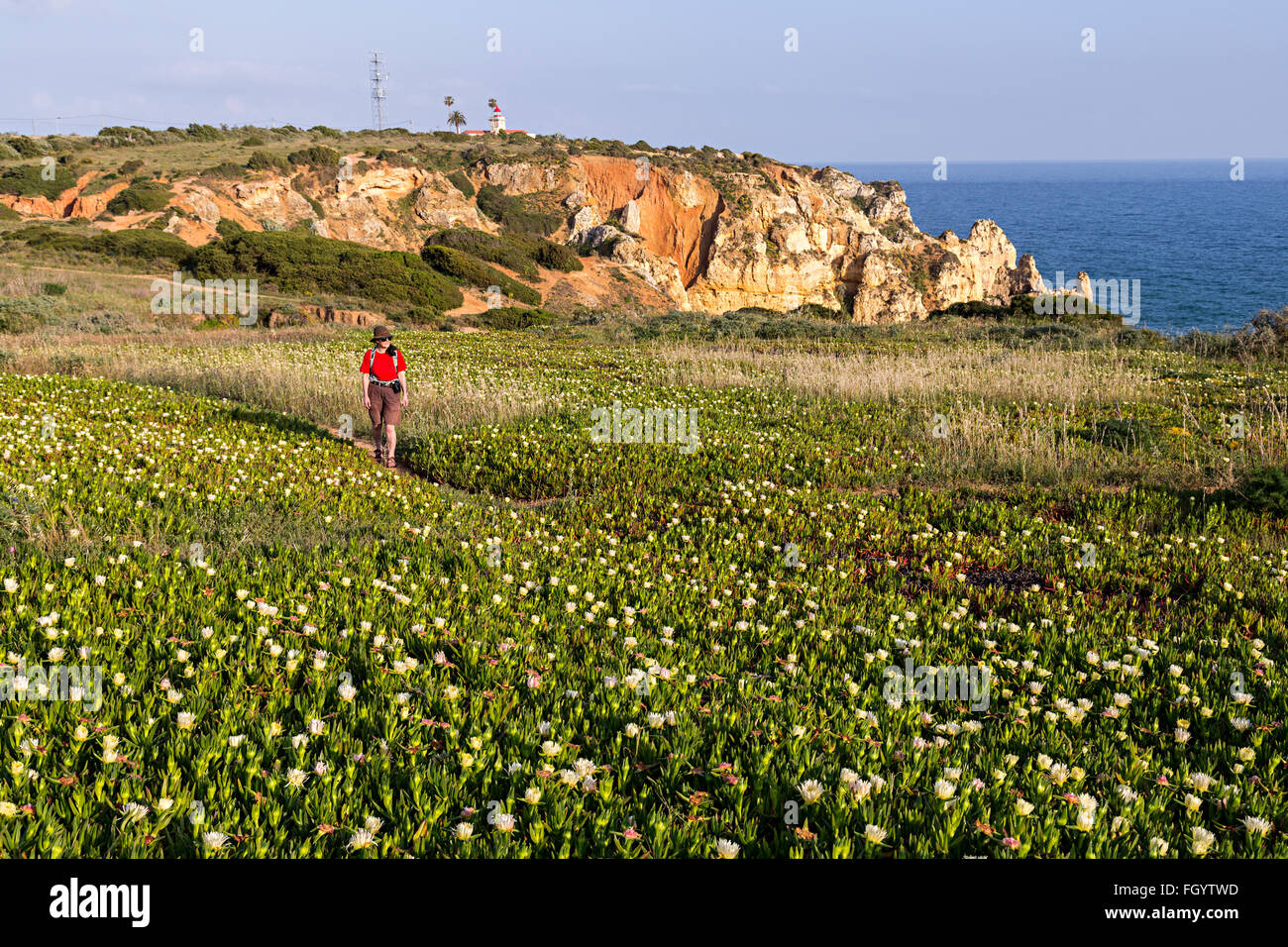 Woman walking through prickly pears in flower on coast path, Pont Piedade, Algarve, Portugal - Stock Image