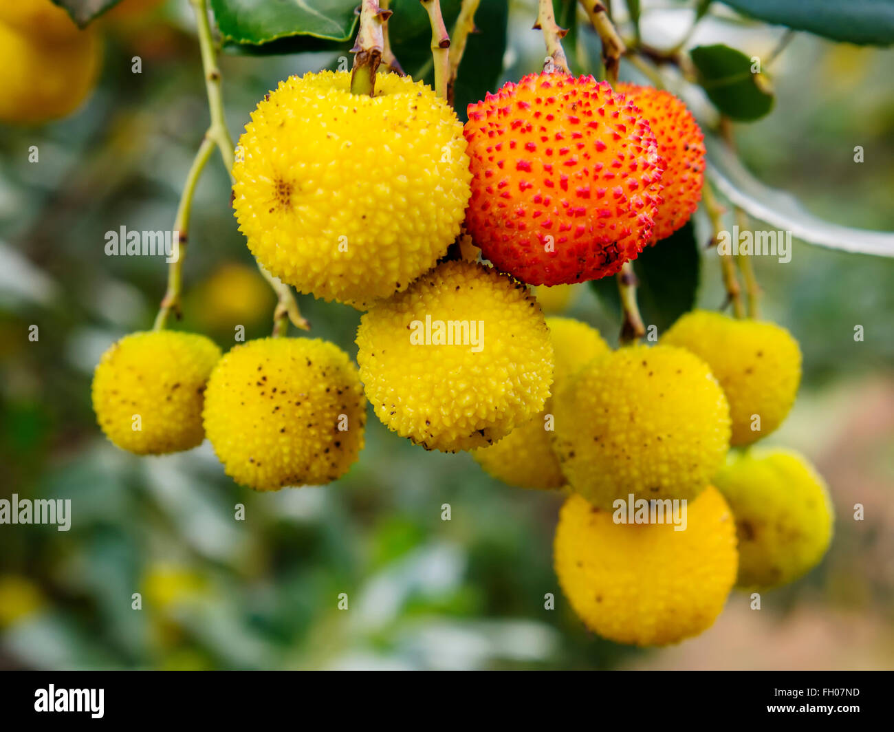 Madrone arbutus berries tree - Stock Image