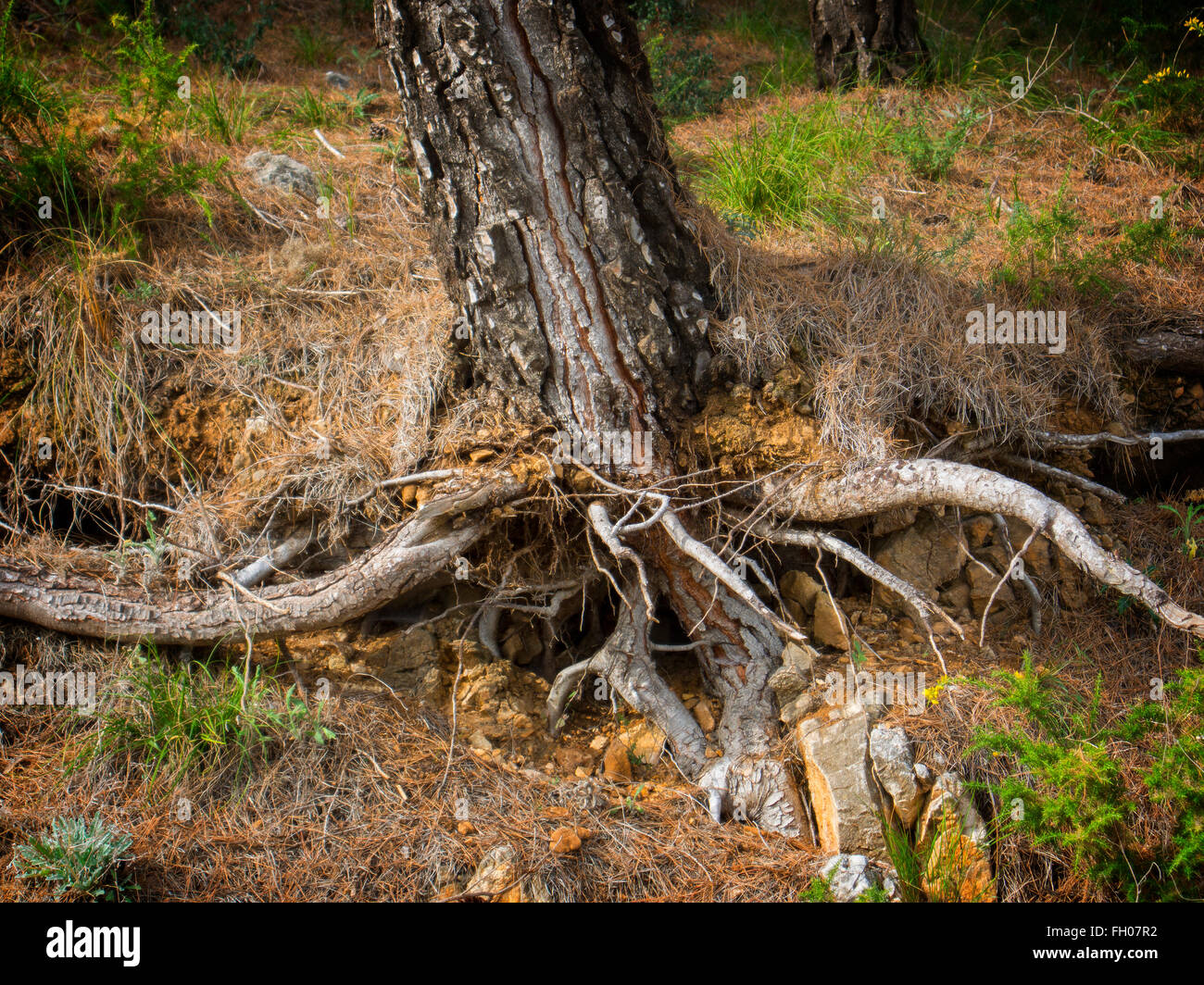 Roots tree eroded by wind and rain Spain - Stock Image