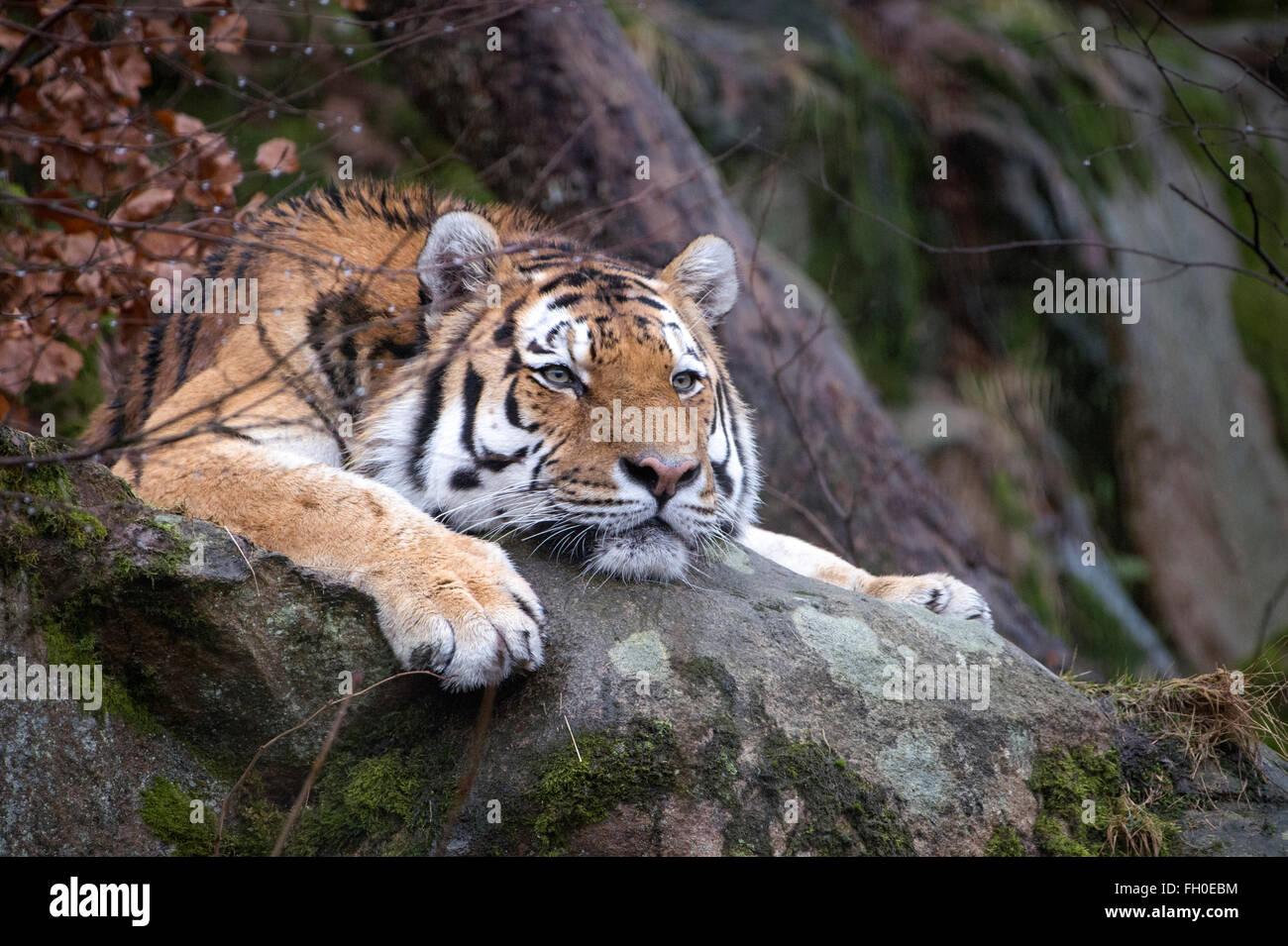 Male Amur (Siberian) tiger lying on rock, looking bored - Stock Image