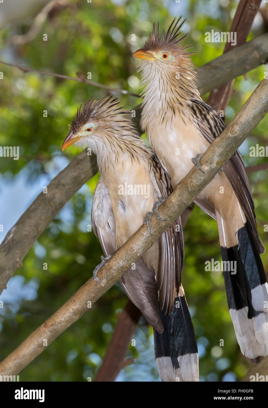 Guira cuckoos (Guira guira), captive (native to South America) - Stock Image