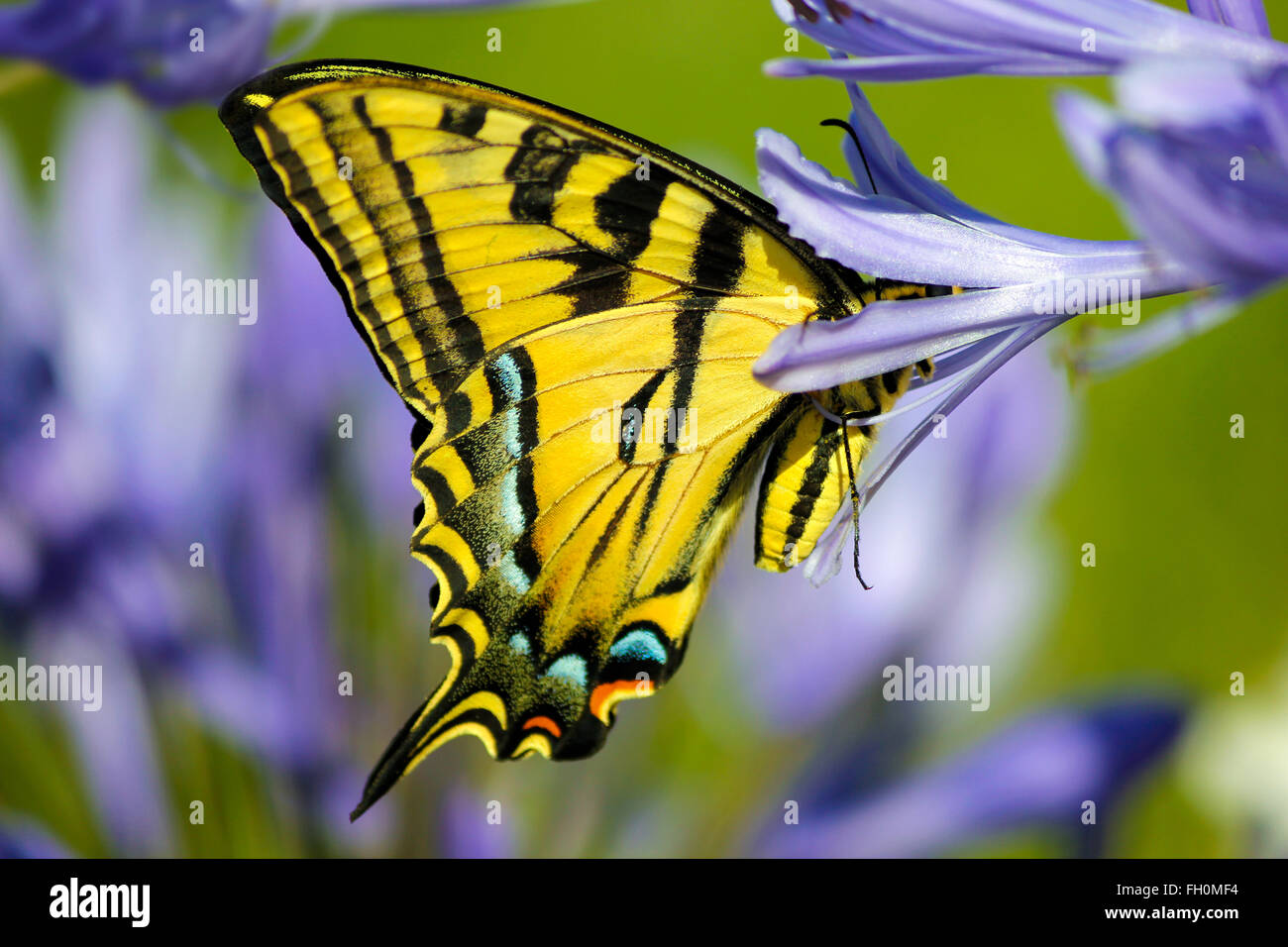 Yellow Swallowtail butterfly on a purple lilly garden - Stock Image