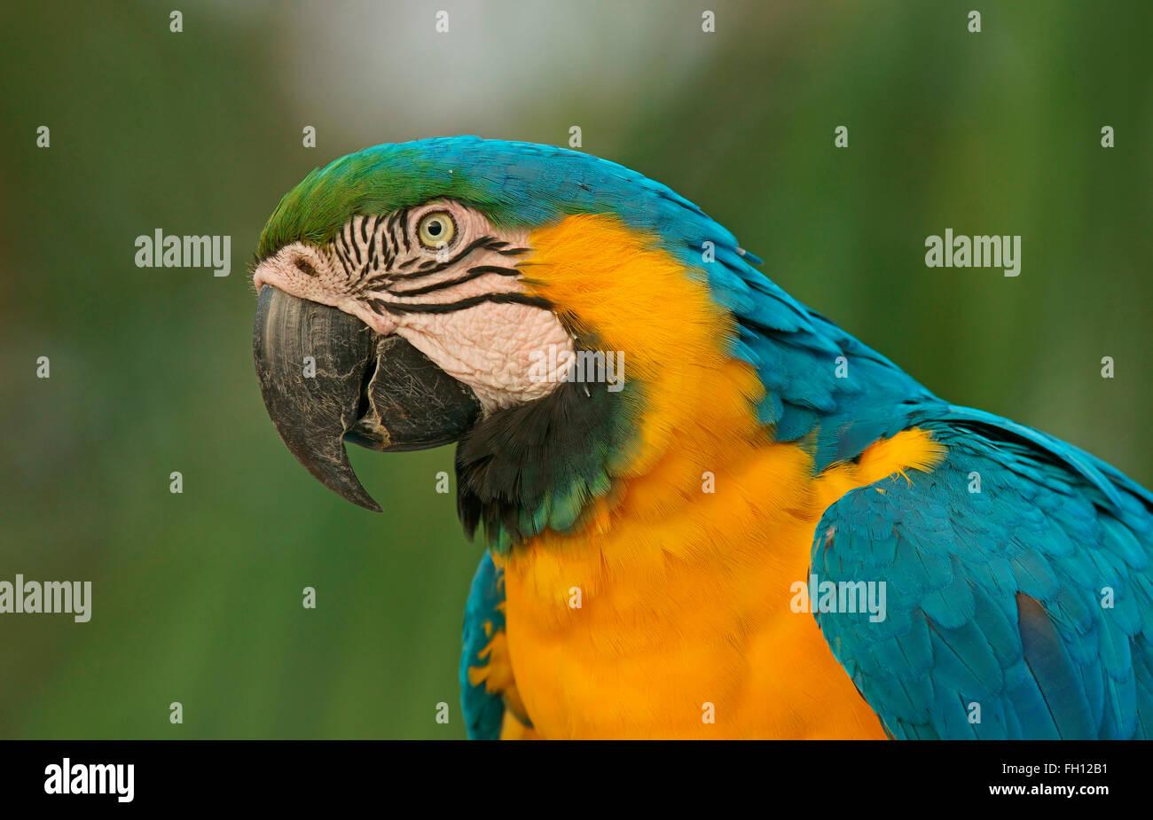 Blue-and-yellow Macaw (Ara ararauna), portrait, Pantanal, Brazil Stock Photo
