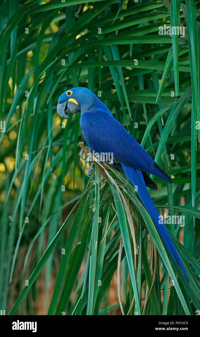 Hyacinth Macaw (Anodorhynchus hyacinthinus), Pantanal, Mato Grosso, Brazil Stock Photo