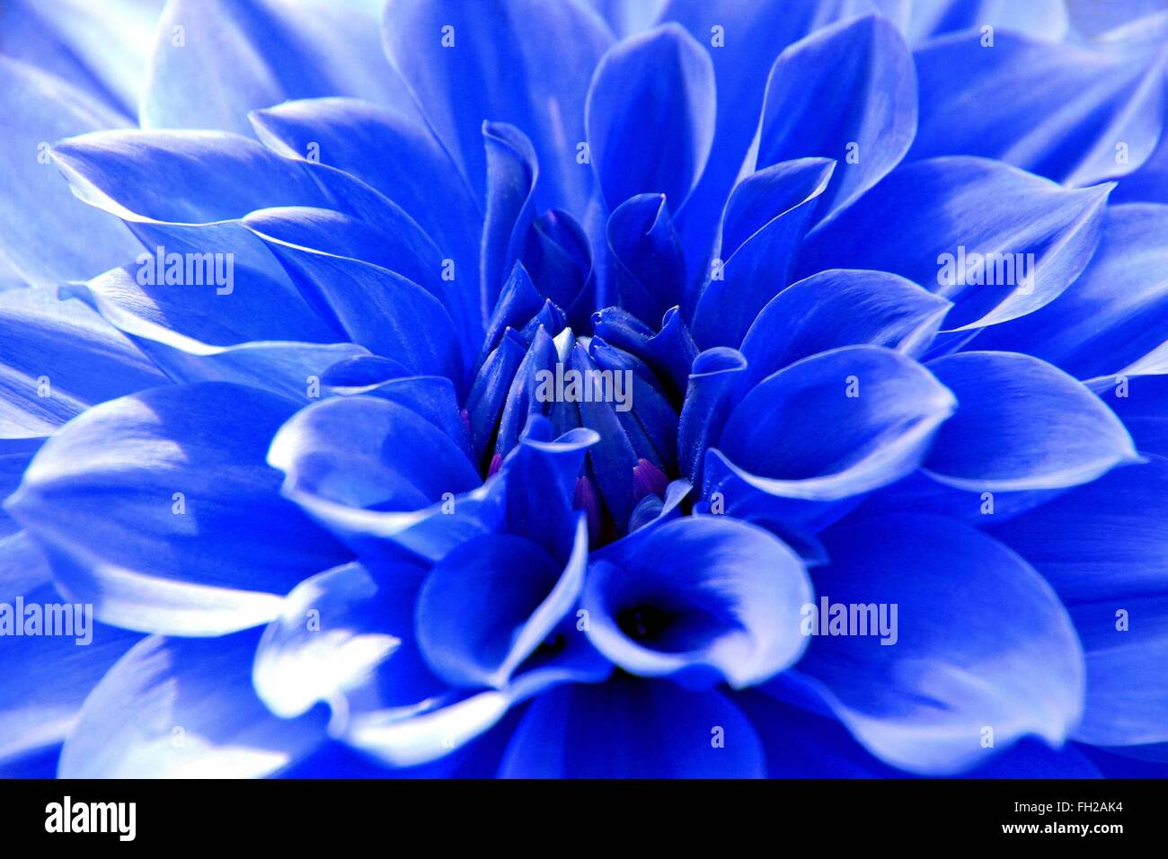 Blue Dahlia Stock Photos Blue Dahlia Stock Images Alamy